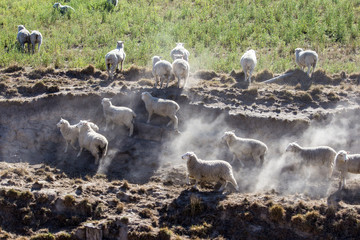 Sheep fleeing into dustcloud