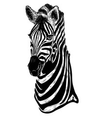 portrait of zebra on a white background
