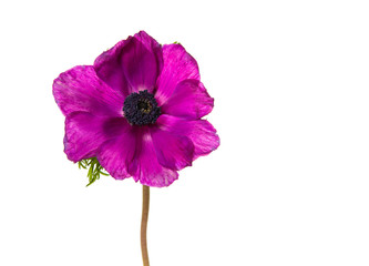 Horizontal image of a single blooming pink anemone flower isolated on a white background