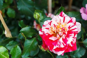 Red white rose flowers in garden