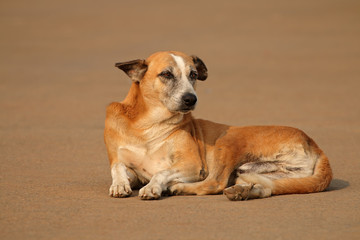 Homeless, stray street dog laying in a street of Delhi, India.