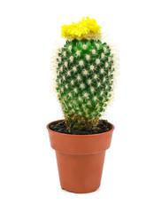 yellow cactus 1