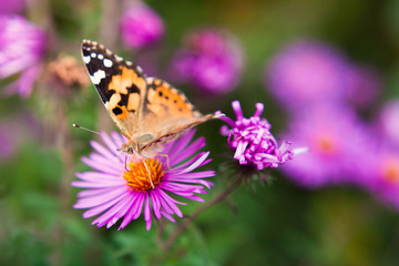 beautiful butterfly on a violet flower close up. a butterfly on