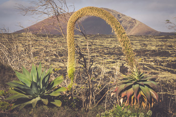 Volcanic landscape with cactuses, Lanzarote Island, Spain