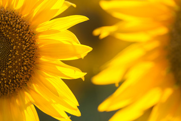 Sunflower close up.