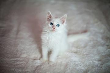 White kitten Maine Coon sitting