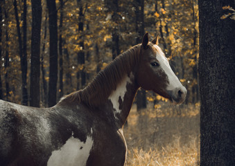 Portrait of the piebald horse in the forest