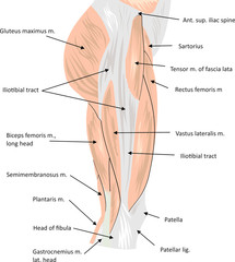 Hip musculature anatomy