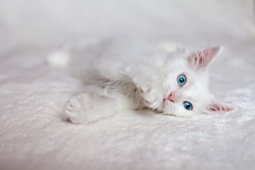 Funny white kitten