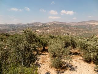Panorama land around Sebastia in Samaria, Israel. Olive trees an