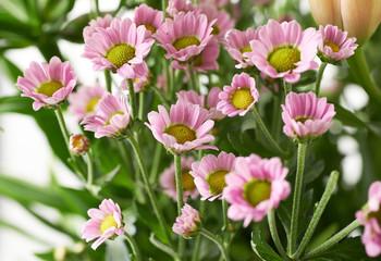 Multiple pink chrysanthemum flowers