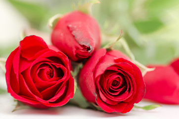 Beautiful red rose, Valentine day
