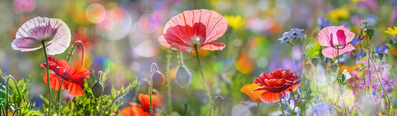 Photo sur Aluminium Poppy summer meadow with red poppies