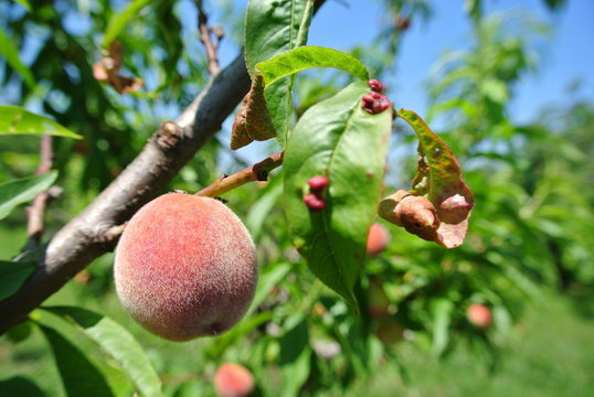 Small semi-ripe red peach on the tree affected by leaf curl desease, in an orchard, on a sunny day.