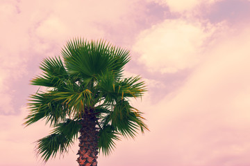 Palm tree krone against pink cloudy sky
