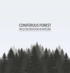 Coniferous pine forest. Camping