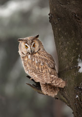 Long-eared owl sitting on the branch with clean background, Czech republic