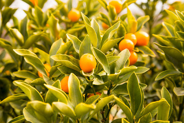 Japan kumquats