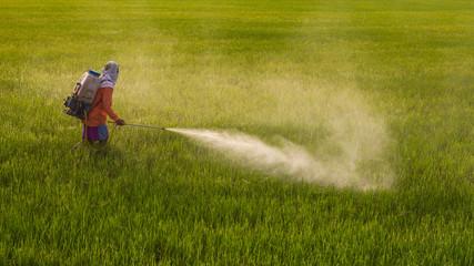 Man spraying in rice.