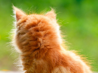 Beautiful red kitten on a green background. Back view