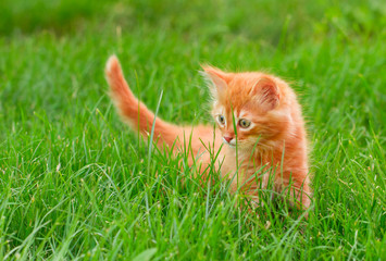 Cat in the Green Grass in Summer. Beautiful Red Kitty with Green