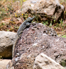Lizard in the natural environment of Turkey.