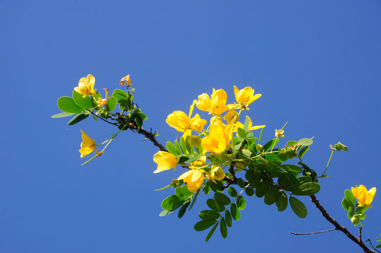 Senna spectabilis thai herb