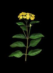 Yellow Verbena on Black