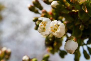 Cherry blossom bunch of spring. Macro.