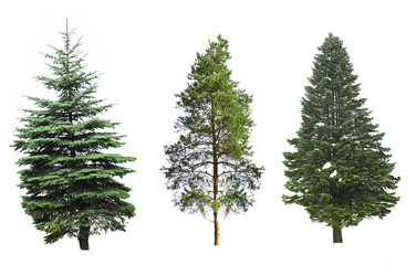 Fir-trees, isolated on white Wall mural