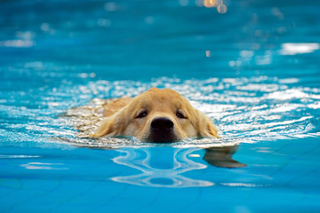 Golden Retriever Puppy Exercise in Swimming Pool