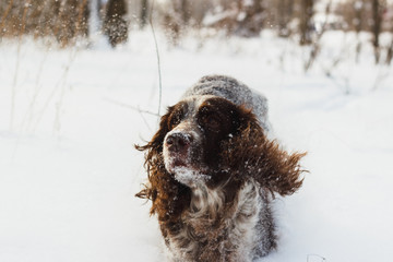 Dog cocker spaniel runs by the snow