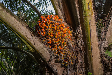 Palm Oil Fruits on the tree at Thailand