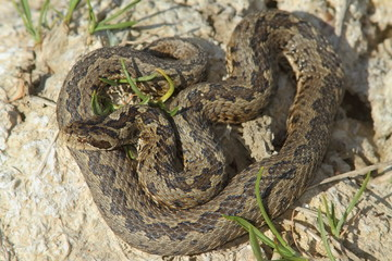 male meadow adder in natural habitat