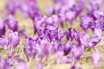 natural meadow full of crocuses