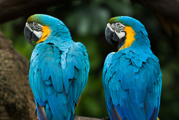 two colorful ara parrots sitting on branch and looking on the same side in singapore jurong bird park
