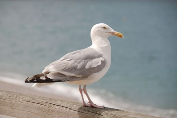 Seagull standing on a wooden rail over blue water