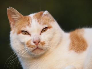 耳の折れた猫の顔