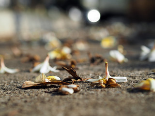 White and Brown Plumeria Frangipani flowers fallen lying on the ground
