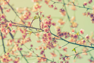 cherry blossom vintage and sotf light for natural background