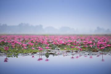 Sea of pink lotus.