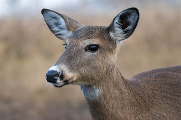 White-tailed Deer Female, Odocoileus Virginianus, closeup in the meadow