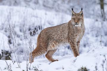 Tuinposter Lynx Eurasischer Luchs im Schnee