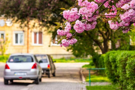 pink sakura blossom on street