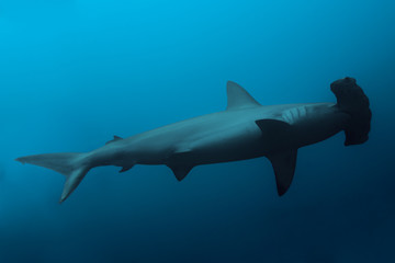 Side view of the hammerhead shark in ocean