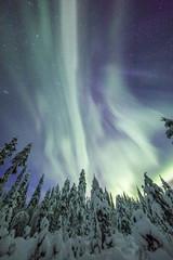 Fototapete - Aurora borealis (Northern Lights) in Finland, lapland forest