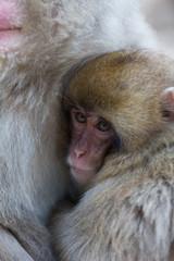 Japanese Snow Monkey in the wild