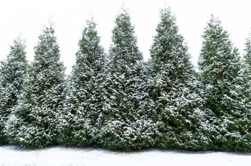 Snow dusted evergreen trees horizontal shot