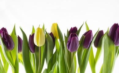 lila und gelbe Tulpen vor weißem Hintergrund