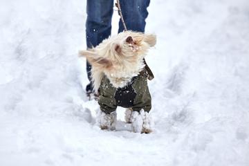 Havanese dog swirling off snow